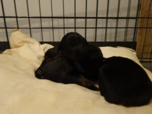 Black and gold dogs P litter week 2