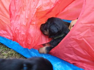 P-litter week 5 Puppy in his tent.
