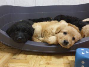 P-litter week 6 van de Romerweide, puppies are resting